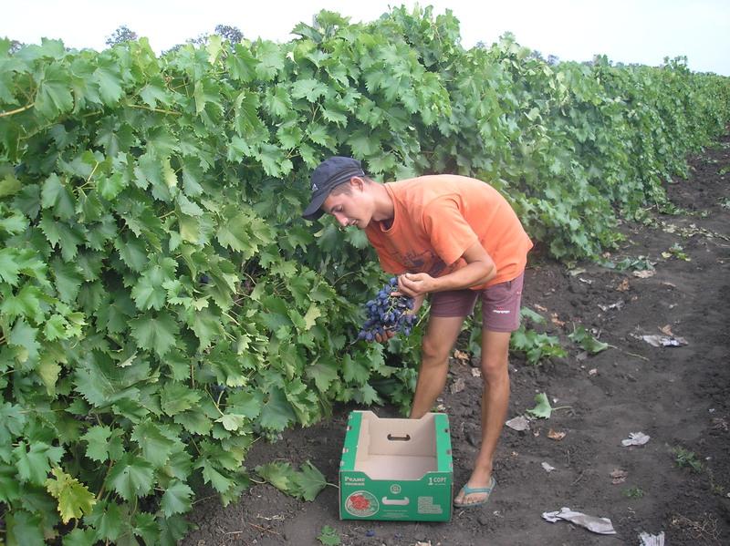 Знайомтесь!  Професія «виноградар».